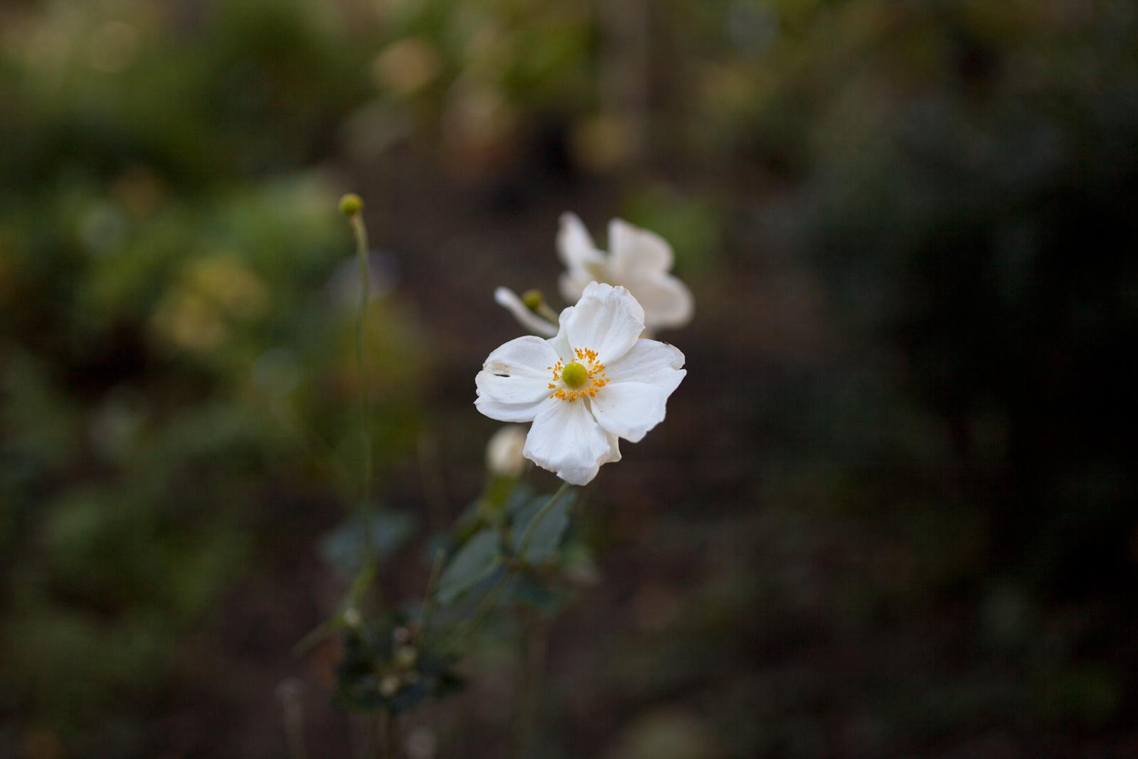 宝塚市立文化芸術センター庭園 メインガーデンのバラ